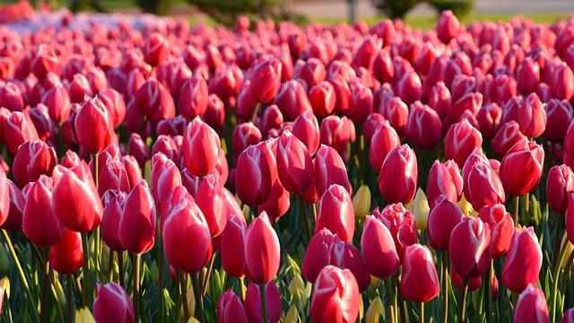 cebulkikwiatowetulipany